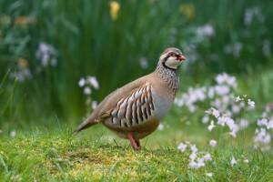 Philby partridge