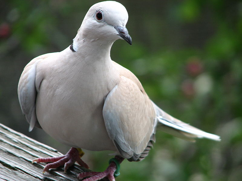 Turtle Dove Behind The Union Symbol