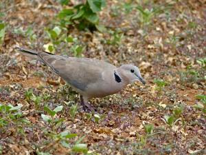 Ring-necked_Dove_(Streptopelia_capicola)_(11855738115)