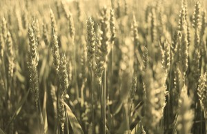 wheat image